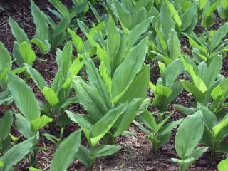 curcuma plantio