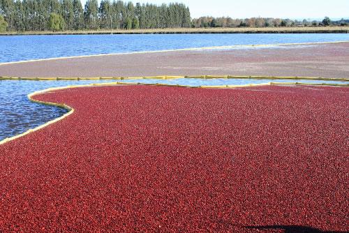 cranberry colheita