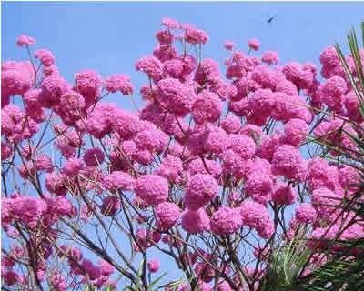 ipe flores