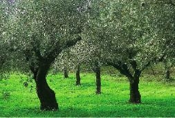 oliveira arvore