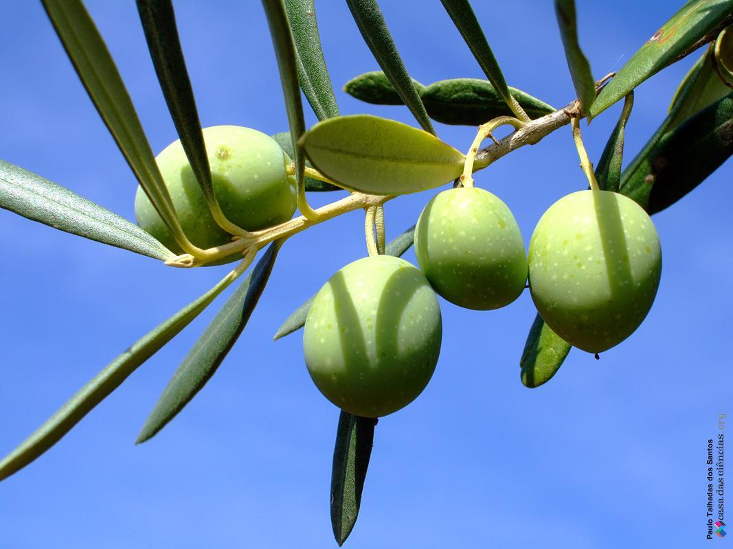 oliveira fruto