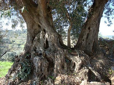 oliveira tronco
