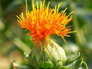 cartamo flor
