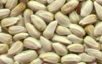 cartamo semente