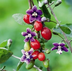 goji berry flor e fruto