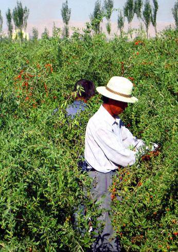 goji berry plantacao