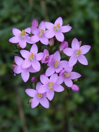 floral - centaury