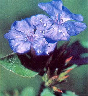 floral - cerato