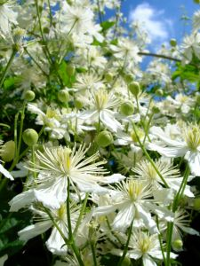 floral - clematis