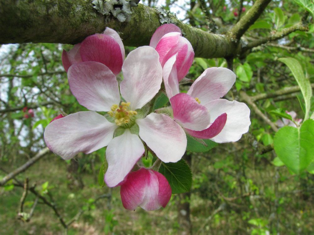 crab apple flor
