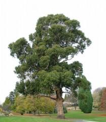 eucalipto 3