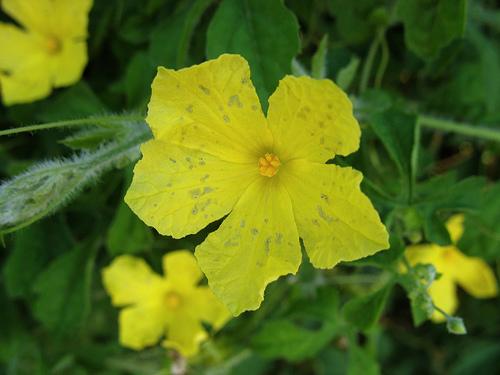melao sao caetano flor