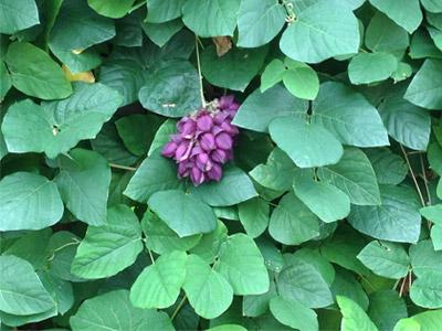 mucuna planta: Está na atualidade