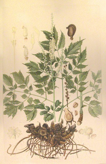 black cohosh botanica