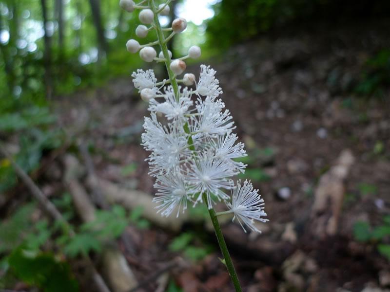 black cohosh flor