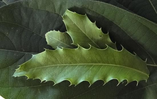 espinheira Santa folha
