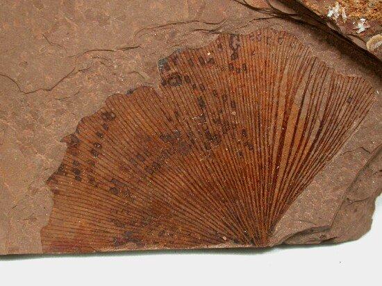 Ginkgo - fossil