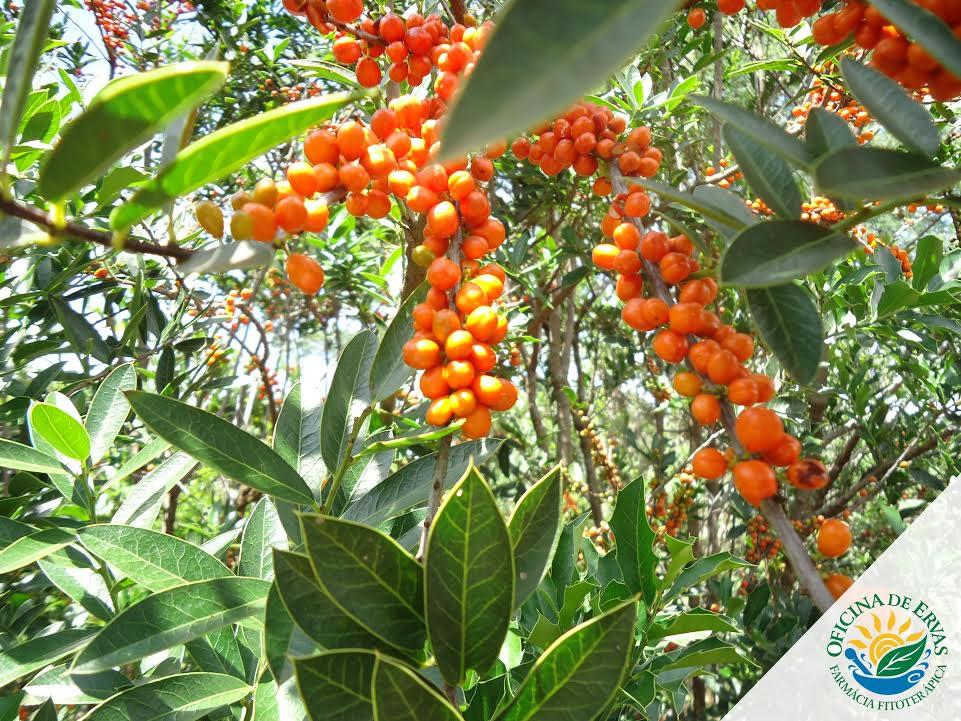 espinheira Santa frutos