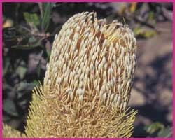 Foto Old Man Banksia