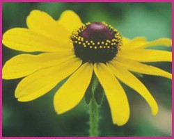 Black-Eyed Susan (Califórnia)