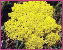 Foto Golden Yarrow