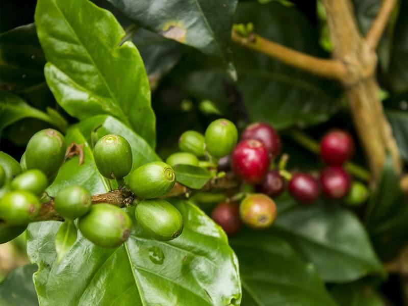 Café Verde 200mg