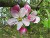 Floral Crab Apple, quem precisa?