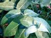 Hibiscus, a Flor que pode contribuir para sua Saúde!