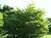 Hamamelis, a planta que combate as varizes.