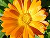 Calêndula, Fitoterápico ou Floral?