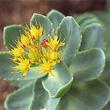 Rhodiola rosea,