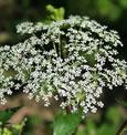 Dong quai, planta que alivia os sintomas da menopausa e TPM