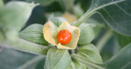 Ashwagandha: A Medicina Ayurveda no Ocidente