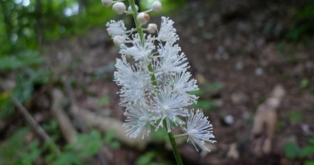 Black cohosh, fitoter�pico ou floral?