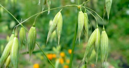 Wild Oat, o Floral que ajuda a tomar decisões na vida