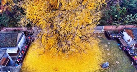Ginkgo biloba, o fitoterápico mais antigo da Terra.